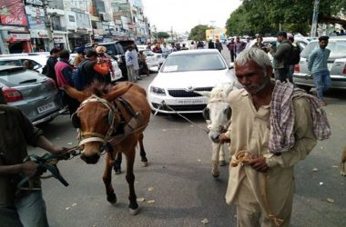 Skoda Octavia Towed By Donkeys as Protest By Owner